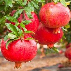 Плоды граната: полезные свойства и правила выбора